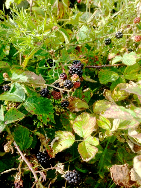 Fresh berries on the side of the road everywhere